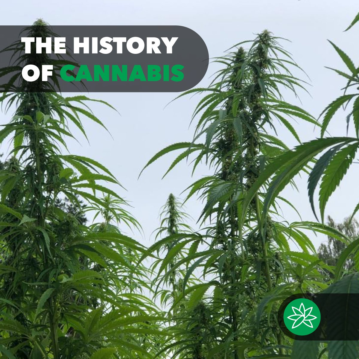 The history of cannabis
